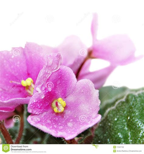 violets with dew on pics violets with dew on pics violet stock photography image