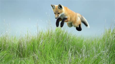 animals wallpaper anime baby fox nature wildlife blurred beautiful animal pictures 90 pics