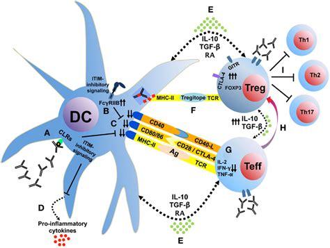 frontiers induction of regulatory t frontiers induction of regulatory t cells by intravenous