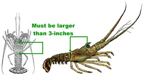 lobster boat limit florida scdnr rules and regulations