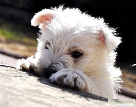 psy house psy sprzedam west highland white terrier big20613