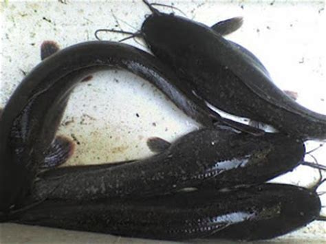 Bibit Ikan Lele Palembang cara memilih induk ikan lele yang unggul tutorial cara