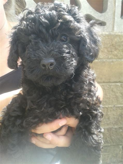 shih tzu with curly hair 3 4 toy poodle 1 4 shih tzu cute curly puppies