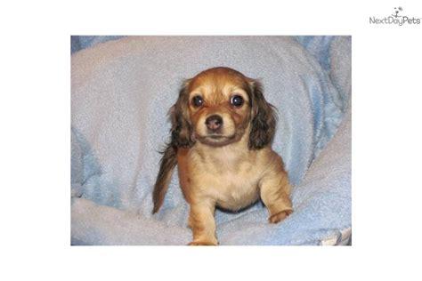 dachshund puppies wilmington nc dachshund mini for sale for 450 near wilmington carolina 82e883a8 c0e1