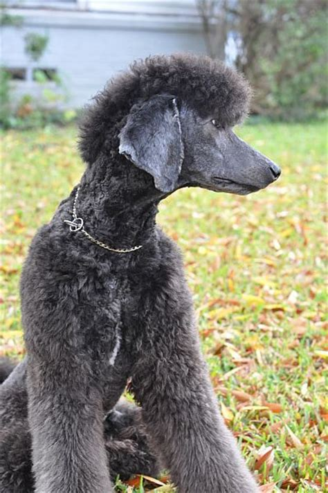 french poodle cuts 190 best annie images on pinterest