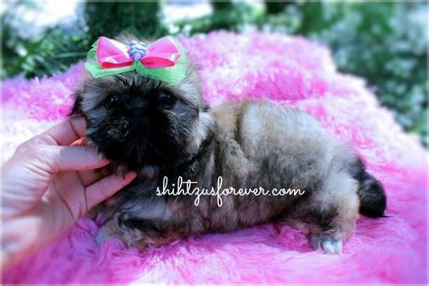 miniature shih tzu puppies for sale in alabama 17 best ideas about shih tzu for sale on shih tzu puppy shih tzu and baby