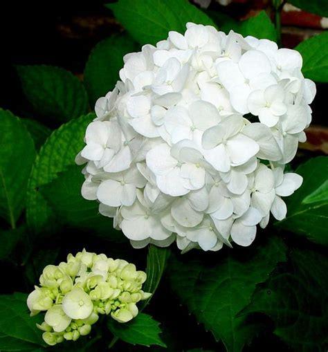 white mophead hydrangea hydrangea flower power pinterest