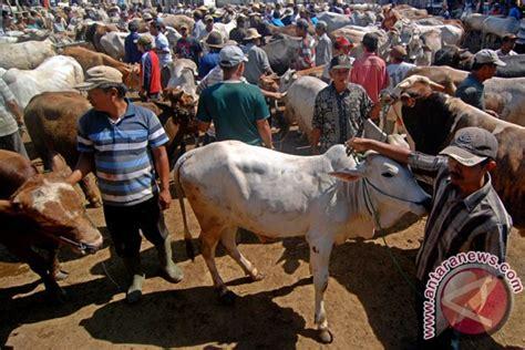 Jual Bibit Sapi Yogyakarta harga sapi di bantul naik rp1 5 juta ekor antara news