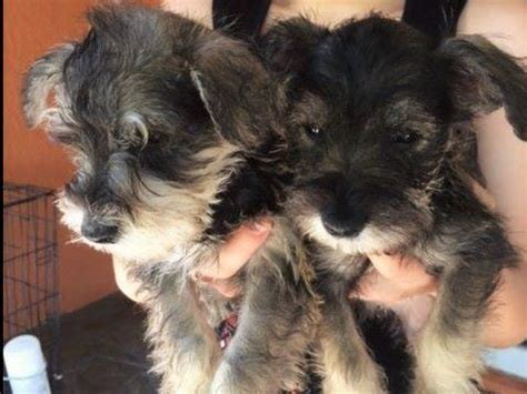havanese puppies miami fl akc puppies for sale near fort lauderdale florida akc marketplace