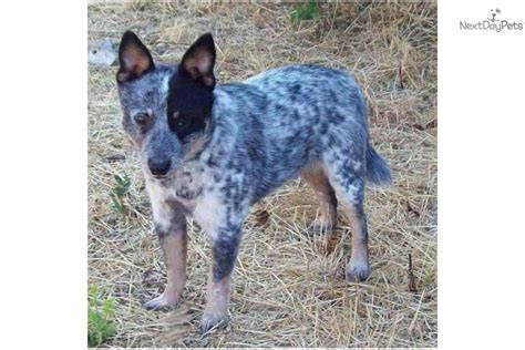 mini blue heeler puppies for sale australian cattle blue heeler puppy for sale near bend oregon 75a62946 7e01