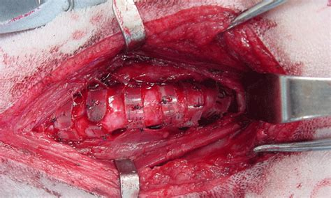 collapsed trachea in dogs tracheal collapse in dogs clinician s brief