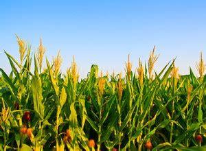 Harga Benih Jagung Manis Per Kg teknik pemupukan jagung manis yang benar pakar budidaya