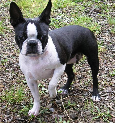 boston terrier puppies boston terrier dogs breeds pets