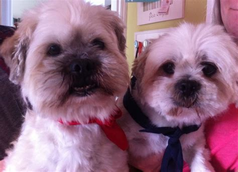 lhasa apso puppies for adoption lhasa apso for adoption doncaster south pets4homes