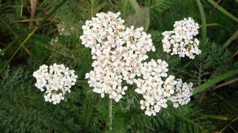 Garden Yarrow 5 Reasons To Grow Yarrow In Your Garden Tenth Acre Farm