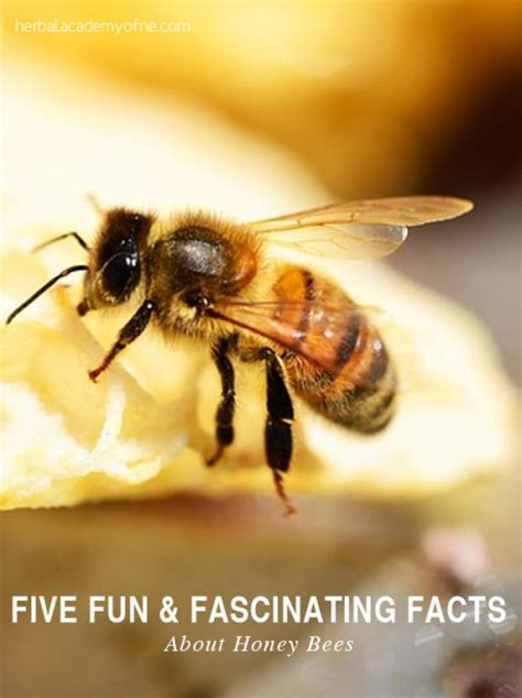 five bizzy honey bees the and factual of the honey bee captivating educational and fact filled picture book about bees for toddlers children and adults books five and fascinating facts about honey bees herbal