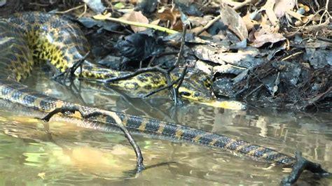 snake attack  eat piranha youtube