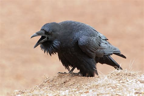 common raven bird light wind