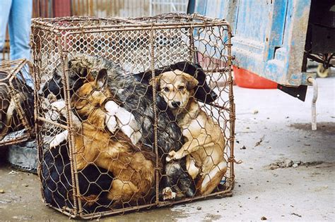 dogs in china report reveals as minority activity with widespread support for ban