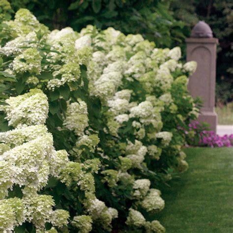 pretty white hydrangea varieties homesfeed