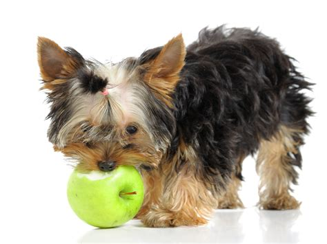 dogs and apples human food safe for dogs food for dogs pet poison helpline