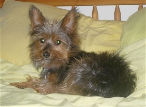 norwich terrier yorkie mix yorkie terrier mix for sale in janesville wisconsin breeds picture