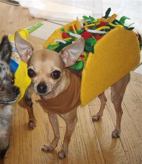 taco puppy cutie aminals chihuahuas tacos and costumes