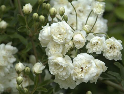 lade di sale rosa white banks thornless a vigorous climber with
