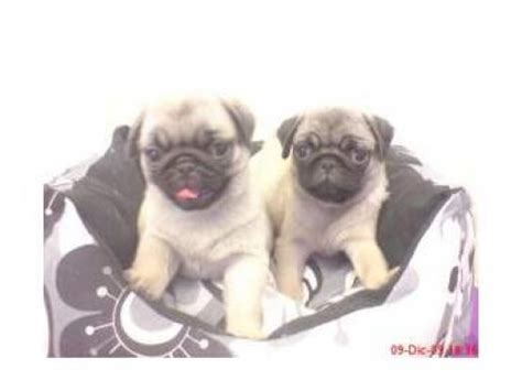 pug puppies ta pug sale ireland pug puppies buy buy pug breeders pug dogs breed pug dogs for adoption