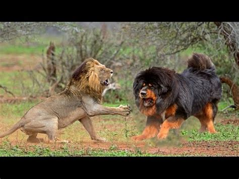 tibetan mastiff monster with 'lion's blood' youtube
