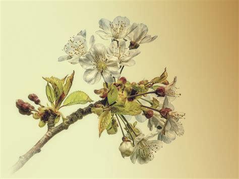 ciliegio fiori fiori di ciliegio juzaphoto