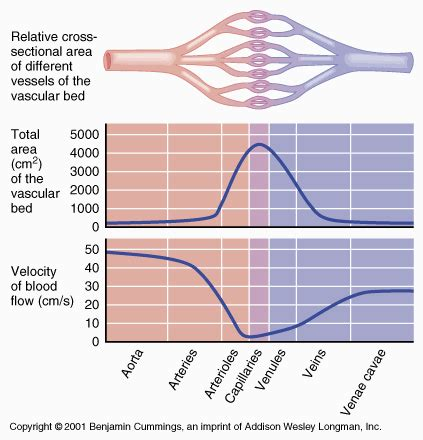 resistance in parallel blood flow cardiac equations