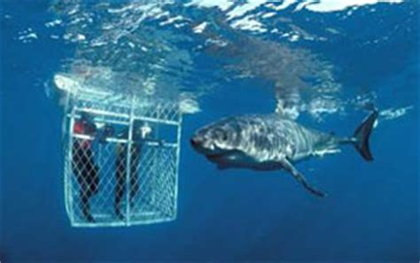 dive with sharks in south africa fly fighter jets more south africa dive tours and safaris dive discovery south