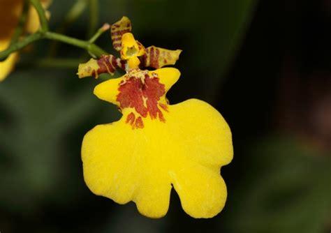 Die Schönsten Zimmerpflanzen 4396 by Sch 246 Ne Zimmerpflanzen Die Sch 246 Nheit Der Oncidium Orchidee