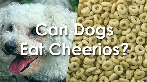 can dogs eat cereal can dogs eat cheerios pet consider