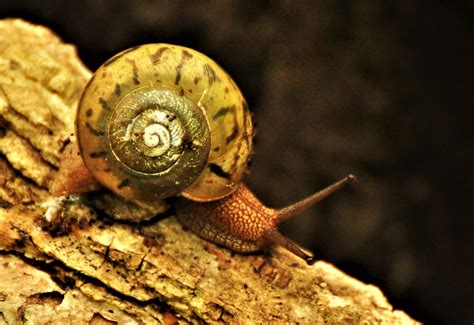 terrestrial snail pictures about animals land snails iowa wildlife blog
