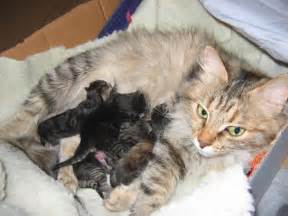 newborn kittens newborn kittens with mom aliisa photo merjatee photos at pbase com