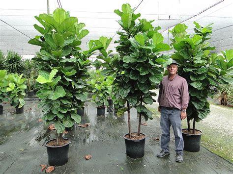 Ficus Lyrata Pflege by Ficus Lyrata Fiddle Leaf Fig Ficus Pandurata Plantas De