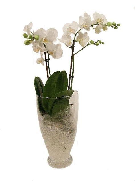 orchidea in vaso cura come curare un orchidea orchidee cura delle orchidee