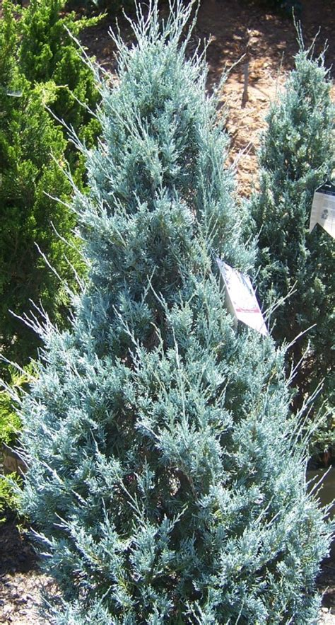 the 2 minute gardener photo wichita blue juniper juniperus scopulorum wichita blue