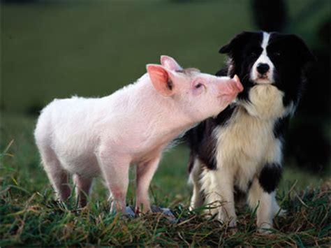 lade berger el mejor amigo perro el cerdo