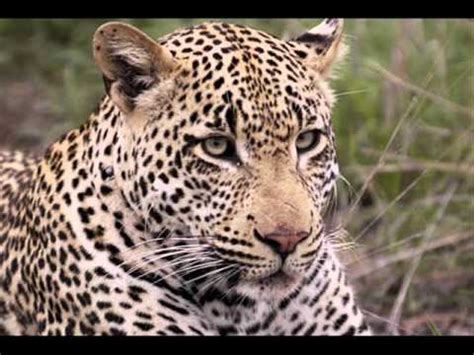 imagenes de animales salvajes animales salvajes de la selva youtube