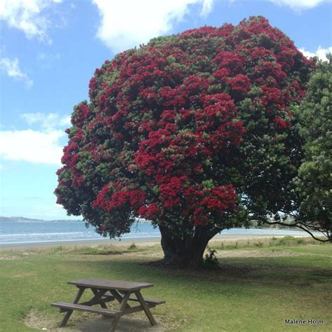 best real christmas tree nz pohutukawa tree new zealand travel