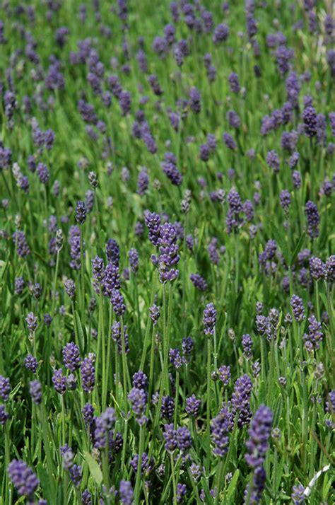 thumbelina leigh lavender lavandula angustifolia thumbelina leigh in vancouver victoria