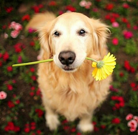 golden retriever flowers golden retriever flower power dogloverstore laughs pinte