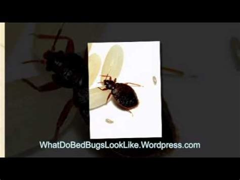 bed bug extermination cost impacts youtube