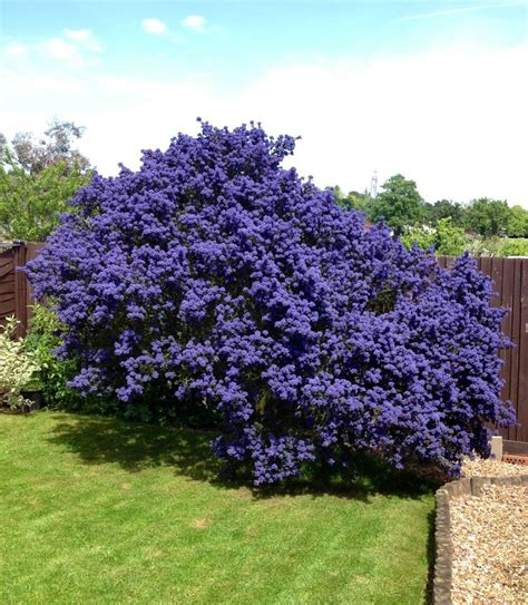 Garden Bushes With Flowers Ceanothus Flowering Bush Japanese Features Beautiful Terrace And For The