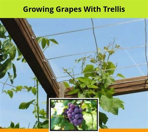 grow grapes   fence  growing grapes indoors