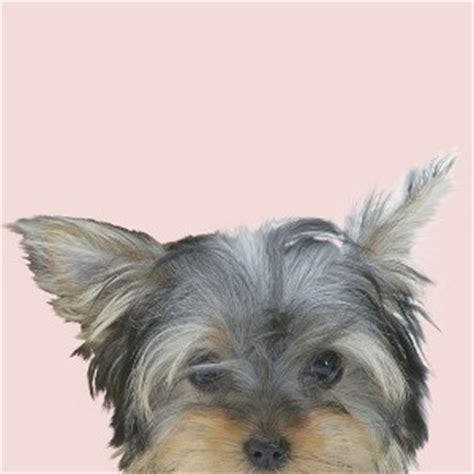 gray yorkie puppies terriers terriers breeds picture