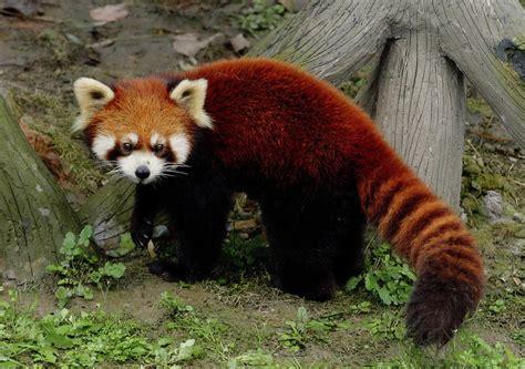 read panda panda animals world